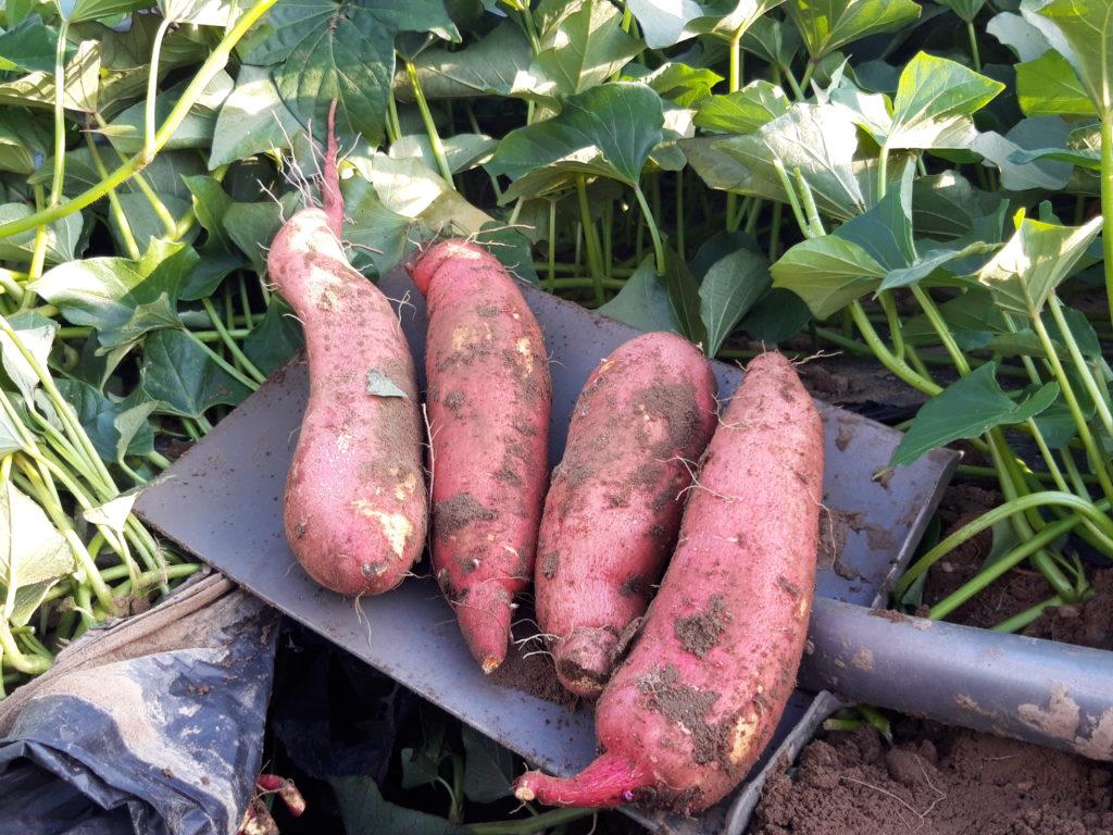 SuesskartoffelnausUelzen