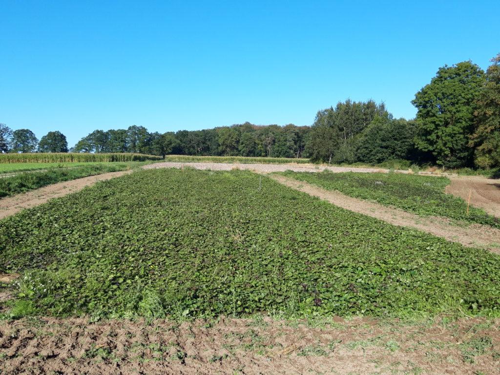 Suesskartoffelanbau in der Lüneburger Heide