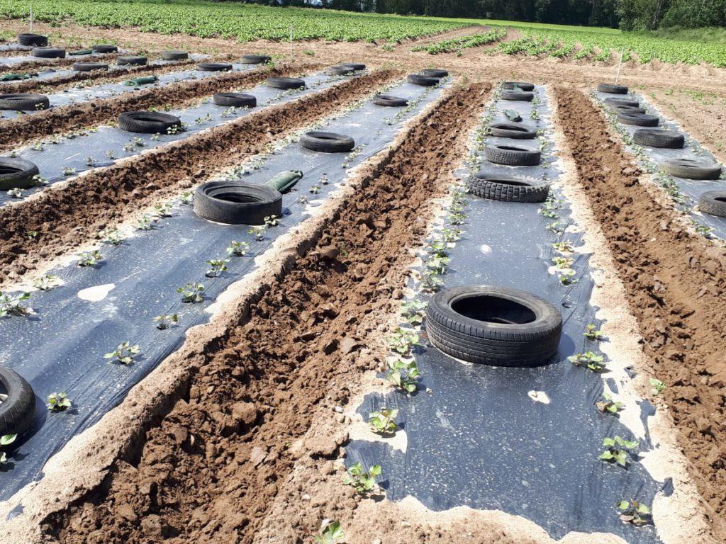 Unkrautbekämpfung in Suesskartoffelanbau